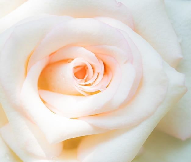 Macro de flor color de rosa, fondo de naturaleza
