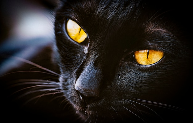 Macro de gato mascota mammale animal
