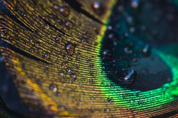 Macro de gotas de agua en la hermosa pluma de pavo real exótico