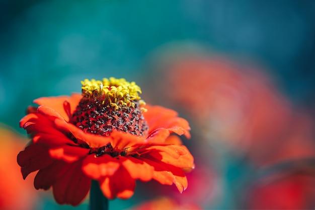 Macro hermosa flor papel pintado naranja zinia macro foco seleccionado