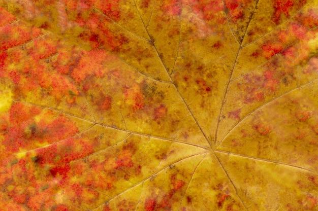 Macro de hoja de otoño naranja
