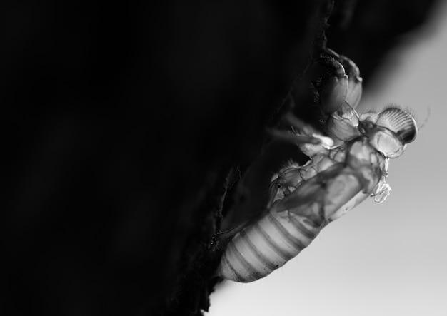 Macro de la mugre de la cigarra en el árbol