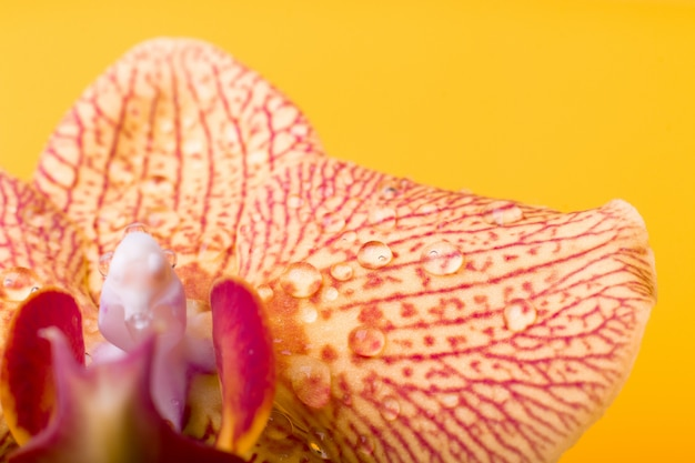 Macro de orquídeas amarillas y rojas con gotas de agua. phalaenopsis de cerca. primavera.