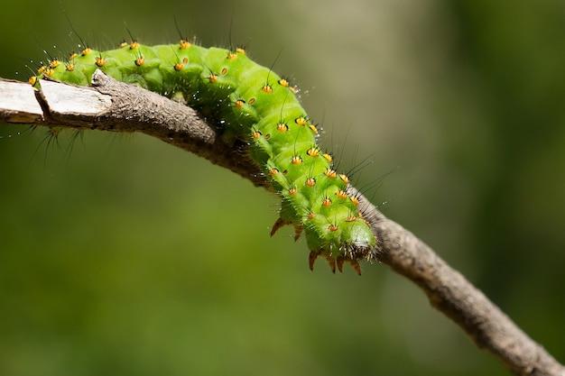 Macro de la oruga de saturnia pavonia, también conocida como la polilla emperador en una ramita