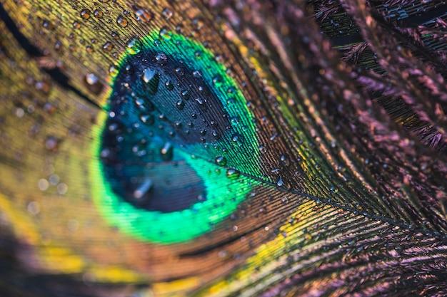 Macro de pluma de pavo real con gotas de agua