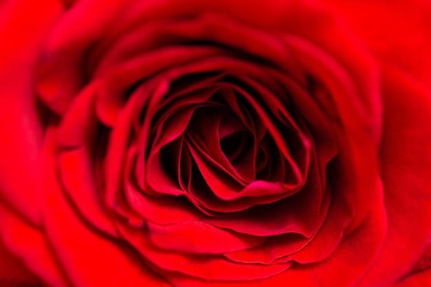 Macro rosa roja