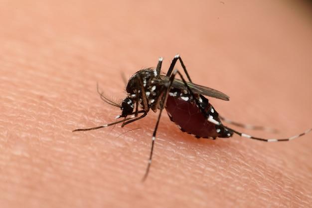 Macro de sangre chupadora de mosquitos de cerca en la piel humana