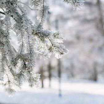 Una madera congelada conífera en invierno.