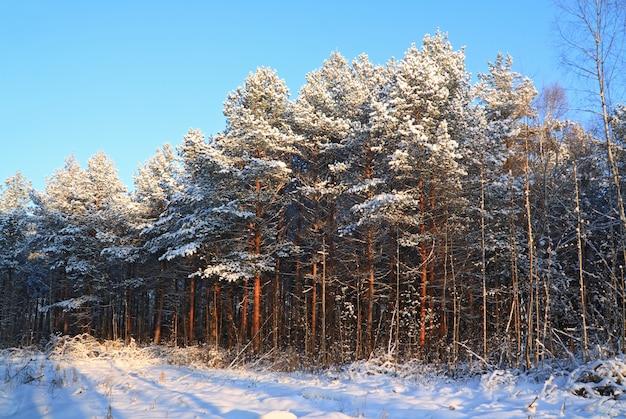 Madera de pino al atardecer