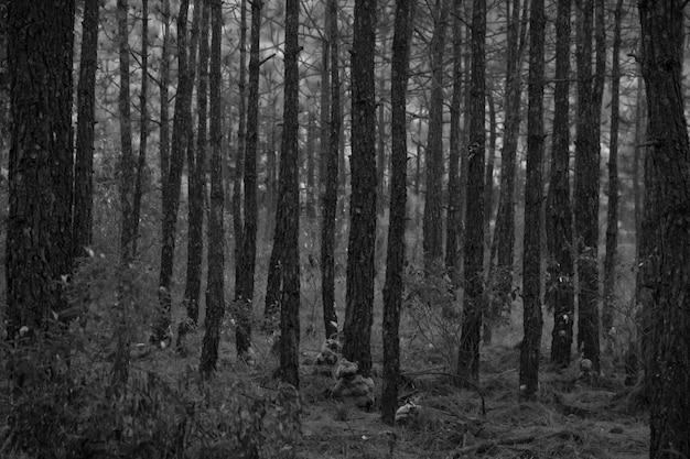 Madera de pino en bosque - tono blanco y negro.