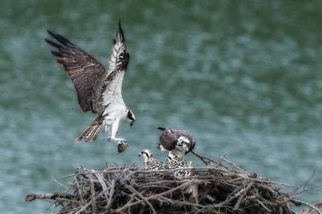 Madre águila pescadora trayendo comida a los bebés en el nido.