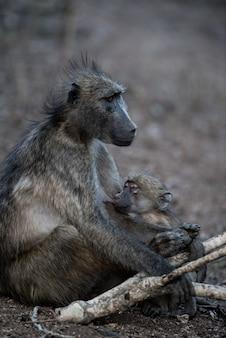 Madre babuino alimentando a su bebé