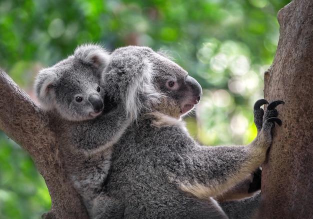 Madre y bebé koalas en el árbol.
