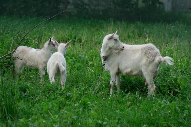 Madre cabra y sus bebés en el pueblo