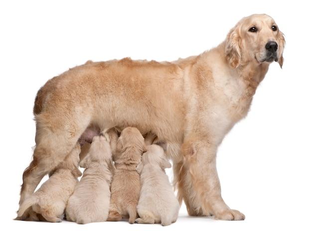 Madre golden retriever, 5 años, lactante y sus cachorros, 4 semanas.