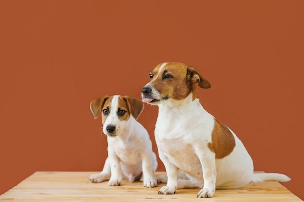La madre linda y su perrito levantan el perro del terrier de russel en tiro del estudio.