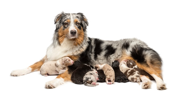 Madre pastor australiano con sus cachorros amamantando contra el fondo blanco.