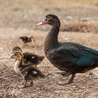 Madre pato con sus pequeños brotes