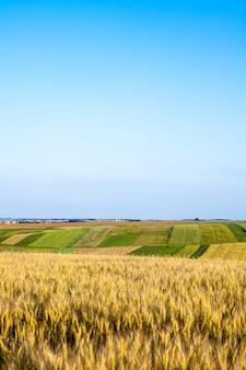 Maduración de espigas de campo de trigo.