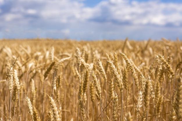Maduras espigas de trigo. nueva cosecha en el campo.