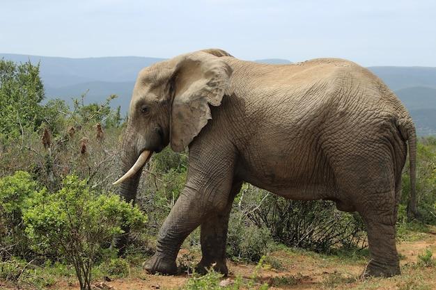 Magnífico elefante fangoso caminando cerca de los arbustos y plantas en la jungla
