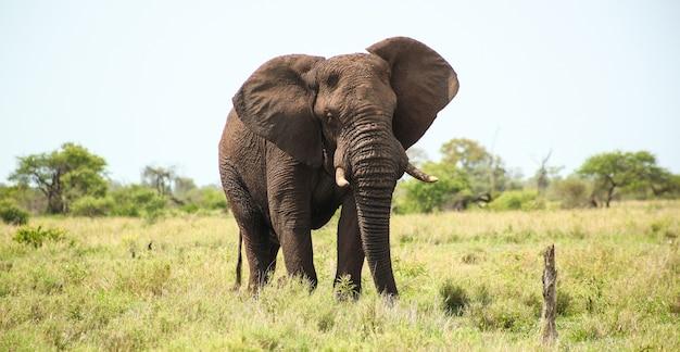 Magnífico elefante en los prados cubiertos de hierba en sudáfrica