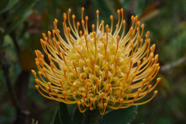 Magnífico golden protea flower blossom en un jardín tropical