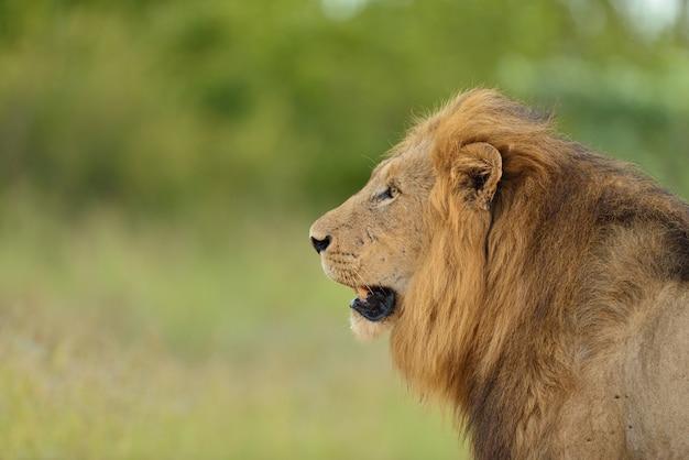 Magnífico león en medio de un campo cubierto de hierba verde