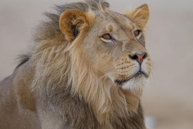 Magnífico león en medio del desierto