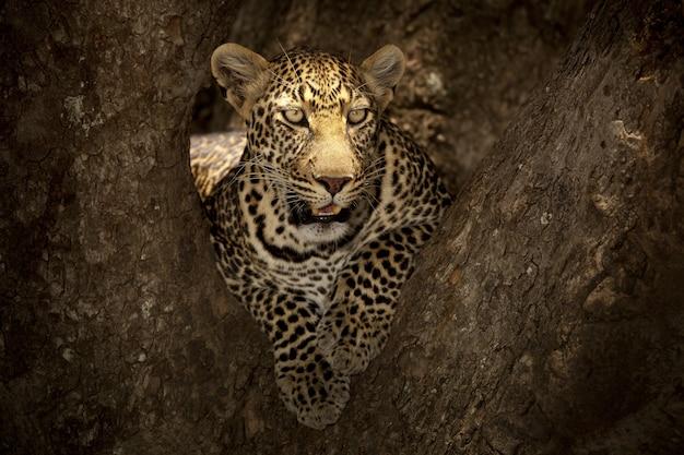Magnífico leopardo africano acostado en la rama de un árbol en la selva africana