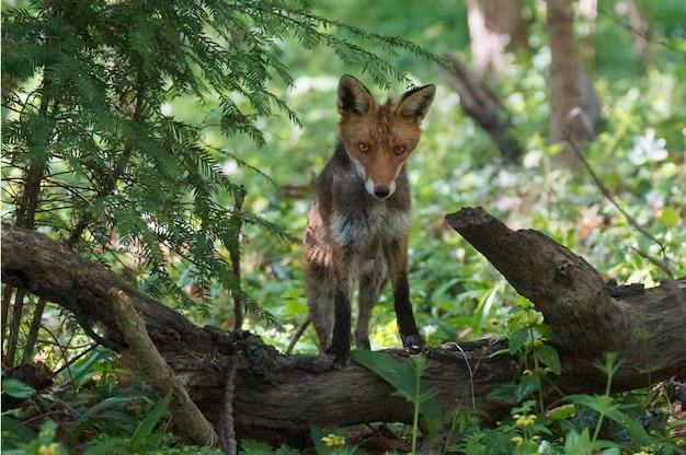Magnífico zorro en busca de presas blancas sentado en el tronco de un árbol en medio de un bosque