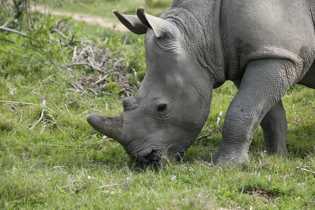 Magníficos rinocerontes pastando en los campos cubiertos de hierba en el bosque