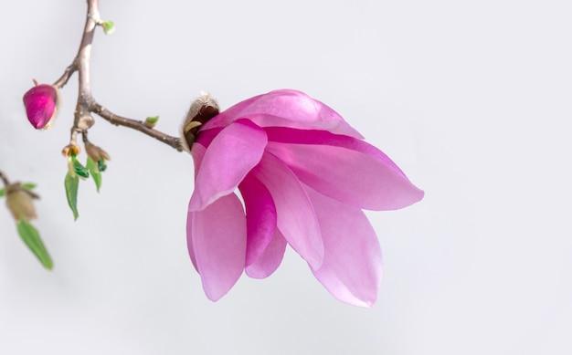 Magnolia flor rosa fondo blanco bloom púrpura lila violeta