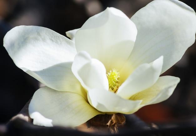 Magnolia floreciendo