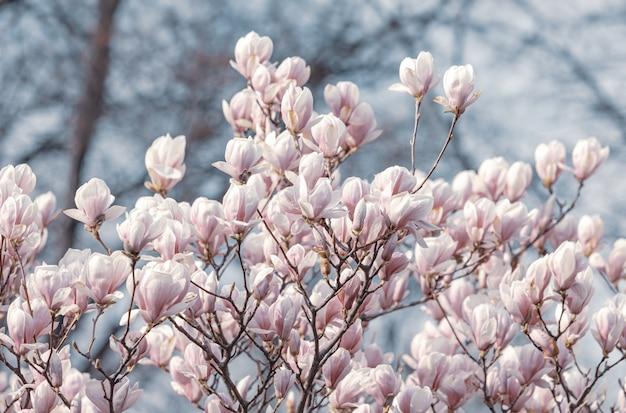 Magnolia flores en primavera