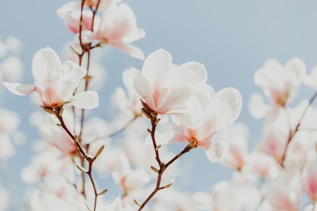 Magnolia rosa flor árbol flores
