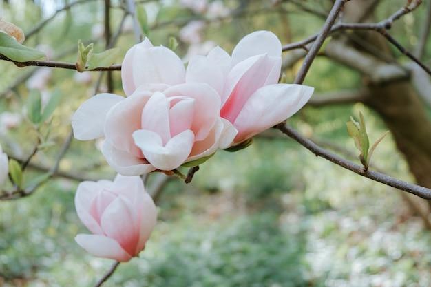 Magnolio con flores rosas en el parque