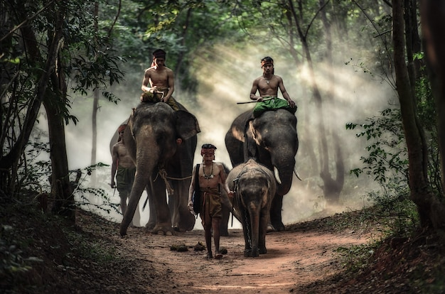 Mahout en la provincia de surin, tailandia