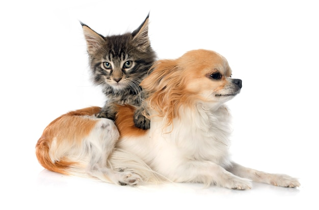 Maine coon gatito y chihuahua