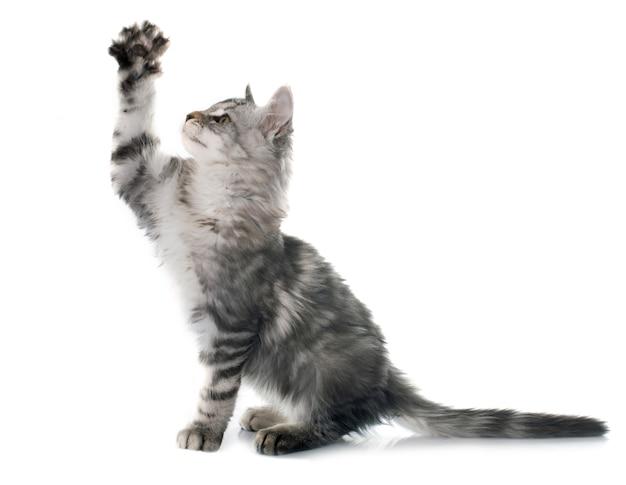 Maine coon gatito