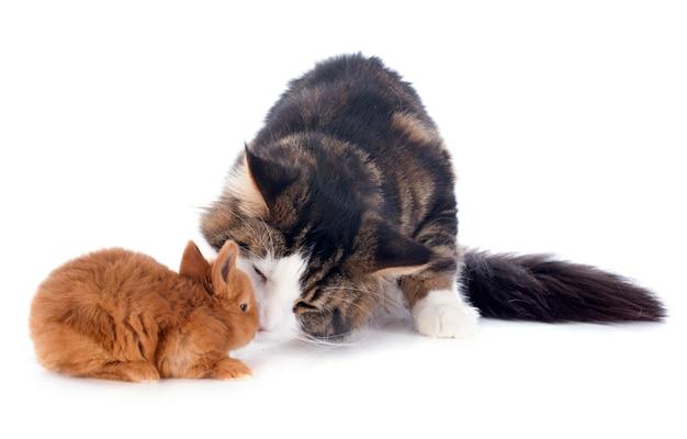 Maine coon gato y conejito