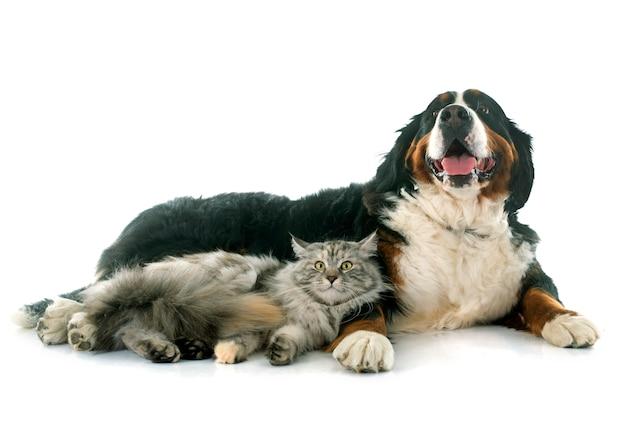 Maine coon gato y perro de montaña bernese