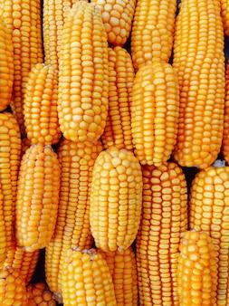 Maíz amarillo fresco y dulce para procesamiento de alimentos.