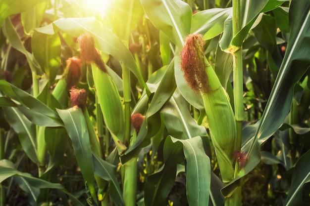 Maíz fresco en tallo en campo con salida del sol