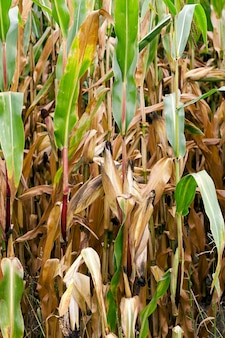 Maíz maduro, otoño - campo agrícola con maíz maduro amarillento, cerca, alimentos naturales