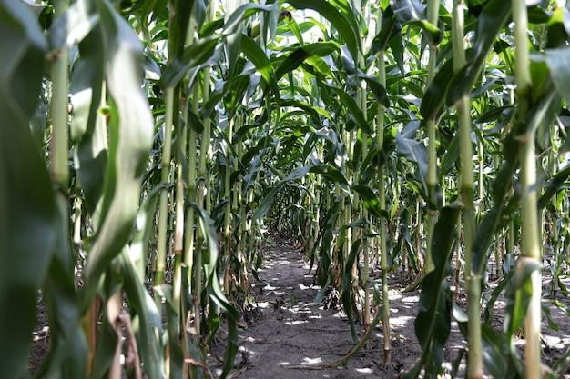 Maíz verde joven que crece en el campo, fondo. textura de plantas jóvenes de maíz, fondo verde.