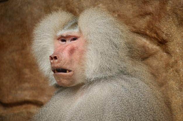 Majestuoso babuino hamadryas en cautiverio