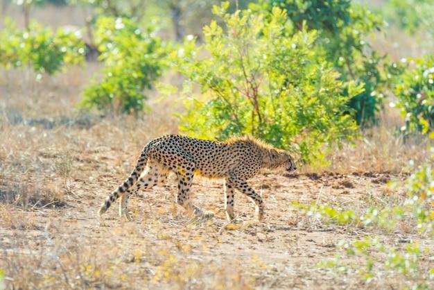 Majestuoso cheetah en posición de caza listo para correr para una emboscada. parque nacional kruger, sudáfrica.