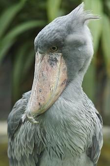 Majestuoso pájaro pico zapato prehistórico