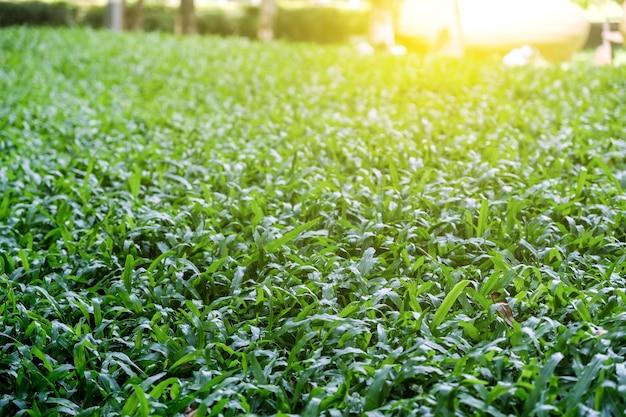 Malasia hierba en el jardín con luz solar